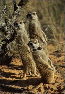 061020_meerkats_main
