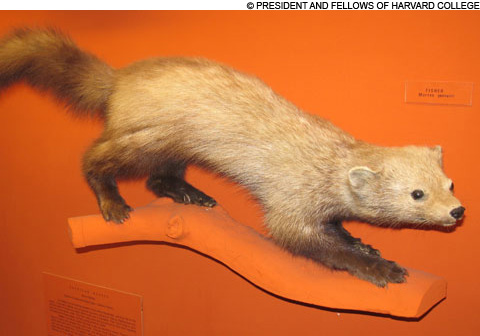 Fisher taxidermy